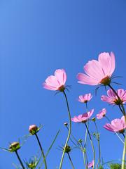 the first morning in October (Sasakei) Tags: autumn flower japan sapporo hokkaido cosmos