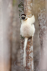 Verreaux's Sifaka (Will Burrard-Lucas   Wildlife) Tags: lemur madagascar sifaka verreauxssifaka ifotaka viaflickrqcom