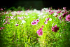 relaxed days revised (moaan) Tags: life leica autumn light sunlight flower 50mm flora october quiet peace dof bokeh dream f10 calm utata flowering noctilux cosmos leicam7 2010 m7 agfaultra100 underthesun cosmosbipinnatus inadream inlife leicanoctilux50mmf10 gettyimagesjapanq1 gettyimagesjapanq2