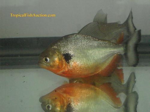 Cariba Piranha (Pygocentrus cariba)
