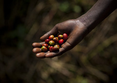 Coffee cherries, Bebeka plantation, Ethiopia (Eric Lafforgue) Tags: africa people colour coffee horizontal closeup fruit person cafe hand farm interieur main farming indoors inside agriculture ethiopia personne ferme humanbeing afrique grosplan coffeetree handholding eastafrica abyssinia maintenant ethiopie coffeecherries dedans 4294 bebeka abyssinie coloredpicture photocouleur afriquedelest etrehumain vueinterieure cafeier colouredpicture plantationdecafedebebeka bebekacoffeeplantation