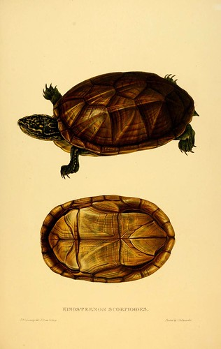 017-Kinosternon Scorpioides-Tortoises terrapins and turtles..1872-James Sowerby