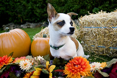 Mr. Jingles (delicedesign) Tags: dog chihuahua puppy sable petphotography brownandwhitedog