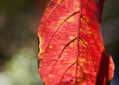 "Red Leaf pattern • <a style=""font-size:0.8em;"" href=""http://www.flickr.com/photos/30765416@N06/5056545623/"" target=""_blank"">View on Flickr</a>"