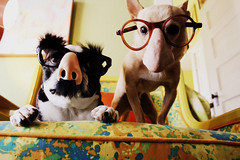 groucho dogs (EllenJo) Tags: pets chihuahua silly dogs goofy canon bostonterrier glasses costume funny ivan groucho canonrebel floyd picnik digitalimage grouchoglasses indisguise ellenjo editedwithpicnik october2010 ellenjoroberts dogsindisguise october62010 highqualitydogs