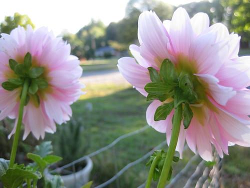 Dahlias and the morning sun