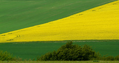 Rape at High and Over (grimbo87) Tags: green lines yellow farm shapes rape fields