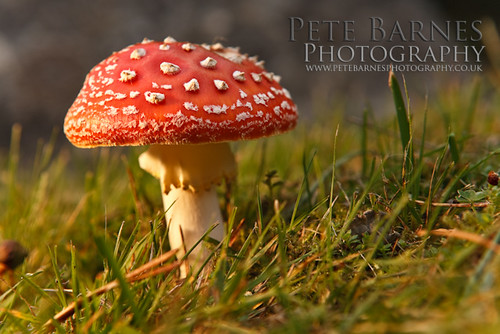 Fly Agaric Toadstool - Off Camera Flash Tutorial pt2