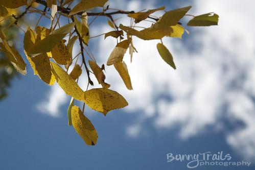 271-aspen leaves