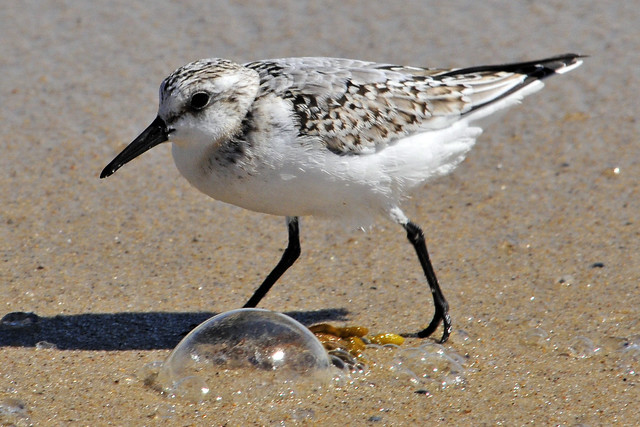 sanderling bubbles 2