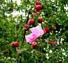 Rose and ripe apples, Portland, Oregon
