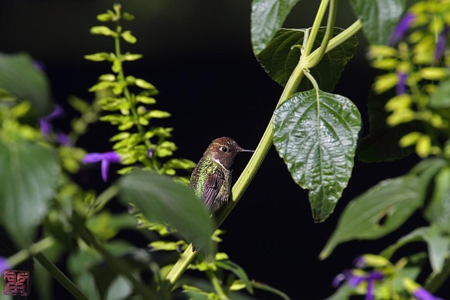 Anna's Hummingbird 10101-4