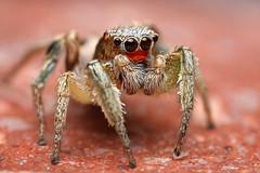Adult Male Habronattus virgulatus (Mundo Poco) Tags: arizona macro canon spider arachnid jumpingspider santacruzcounty salticidae mpe65mm eos450d habronattus rebelxsi habronattusvirgulatus habronattuscoecatusgroup