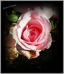 V e r a . . . (Katre-i Umman) Tags: pink rose gl pinkrose pembe pembegl goncagl