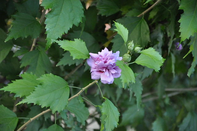 Rose of Sharon - Hibiscus syriacus