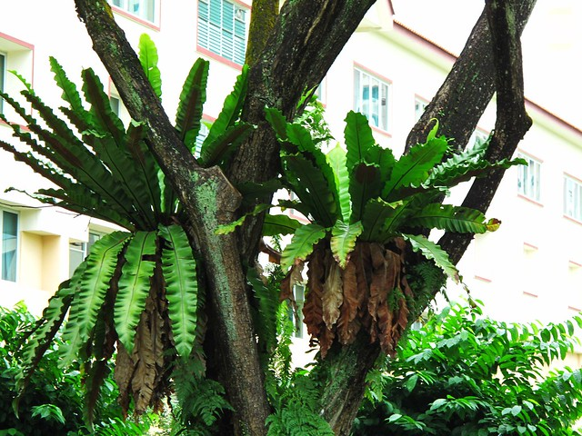 IMG_0166 Staghorn Ferns