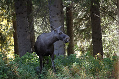 Alce (silvano fabris) Tags: wildlife elk sweeden naturephotos alce wildlifephotography flickrsportal