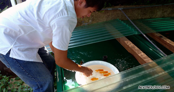 One of the owner, Daryl, picking out some ranchu to put on bidding