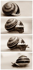 At the speed of snail (ms holmes) Tags: detail sepia four cuatro 4 snail series tones schnecke vier quatre reihe tetraptych challengeyouwinner thechallengefactory canoneos1000d