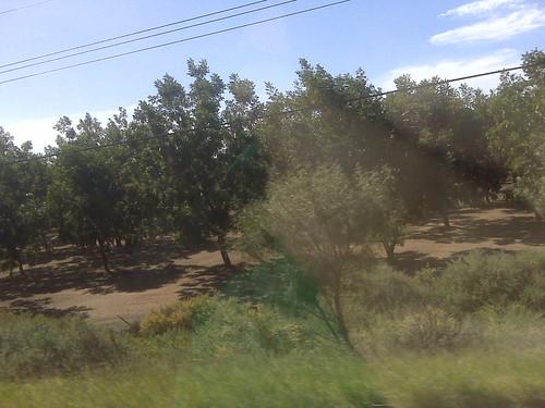 Pecan fields