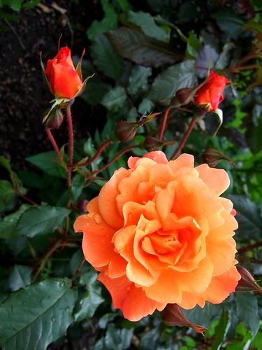 Bergen rose