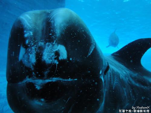 花紋海豚(3)