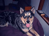 Best Friend (hellocopter) Tags: she bed mix husky where aussie belongs skimo