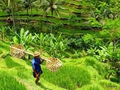 Farmer and Rice Terrace
