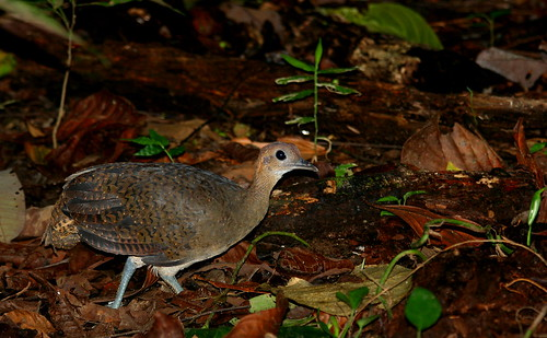 Tinamus major Great Tinamou _6506 c Andy and Gill Swash WorldWildlifeImages