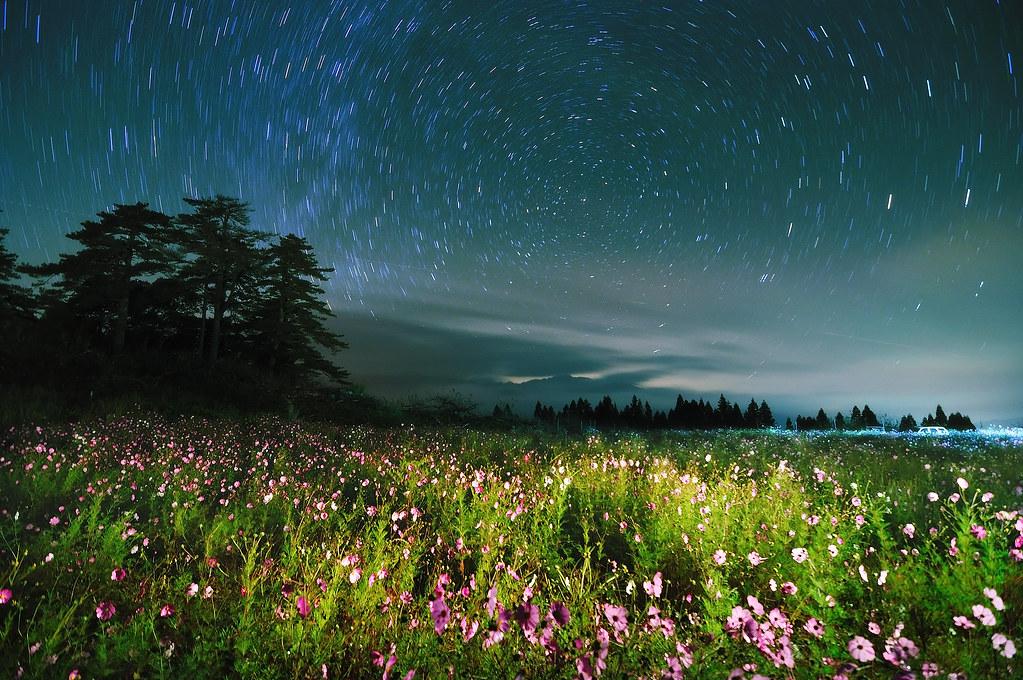 星夜波斯菊