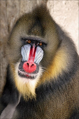 Portrait of a Male Mandrill (Foto Martien) Tags: portrait man holland color colour male netherlands beautiful dutch face amsterdam zoo monkey colorfull nederland ape tropical congo portret coloured primate aap mandrill artis noordholland kleurrijk gabon dierentuin equatorialguinea gezicht dierenpark mannetje kleuren mandril polychrome bont tropisch mannelijk veelkleurig kleurig primaat centralafrica mandrillussphinx cercopithecidae oldworldmonkey a550 southerncameroon martienuiterweerd martienarnhem sony70300gssmlens sonyalpha550 mygearandmepremium mygearandmebronze mygearandmesilver mygearandmegold mygearandmeplatinum mygearandmediamond fotomartien