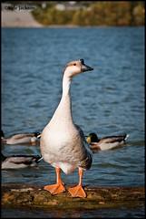 (tokyowaffles) Tags: ohio orange white west bird water photoshop river photography virginia duck nikon waves head huntington border beak wv teen fowl 75300mm tamron lump cs4 d3000
