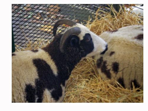 Jacob sheep up close