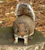 1 2 3 Jump !!!!!! (Church Mouse 07) Tags: uk autumn nature lumix october wildlife panasonic british 2010 greysquirrel atthepark waitingforpeanuts dmcfz28 churchmouse07