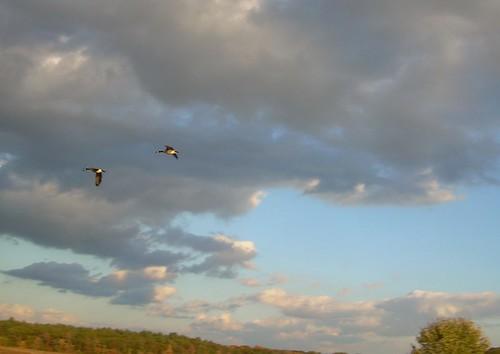 Geese Overhead