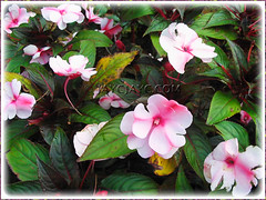 A pink variety of Impatiens walleriana (Touch-me-not, Jewel Weed, Sultana, Busy Lizzy/Lizzie)