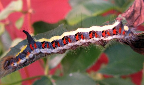 Caterpillar-Grey Dagger Moth