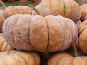 Fat Squatty Pumpkins