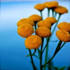 (Frkenfryd) Tags: blue autumn flower macro green fall yellow norway close bokeh trondheim frkenfryd