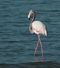 1 + 1 = 11 ; ~ (ZiZLoSs) Tags: canon eos flamingo kuwait usm aziz abdulaziz عبدالعزيز f56l ef400mmf56lusm 450d zizloss المنيع canoneos450d ef400mm 3aziz almanie abdulazizalmanie httpzizlosscom