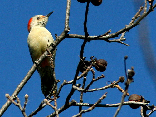 Red-bellied Woodpecker 20101102