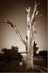 El niño y el árbol por Jesús Celma :-)) :-))