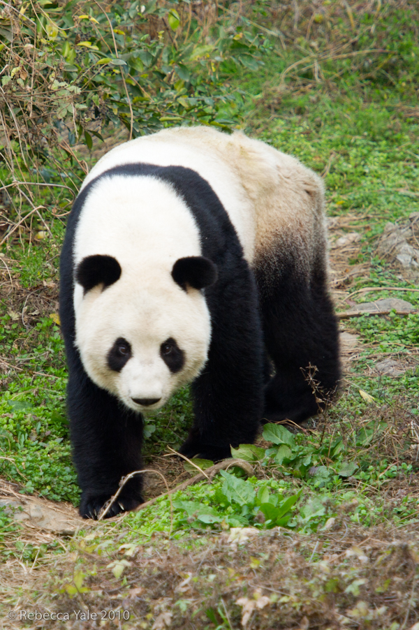 RYALE_Panda_Bears_43