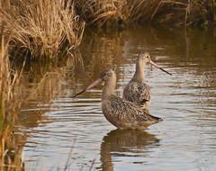 Marbled Godwits (hallograph(Jake Hall)) Tags: ocean bird beach nc north hatteras shore carolina outer banks obx