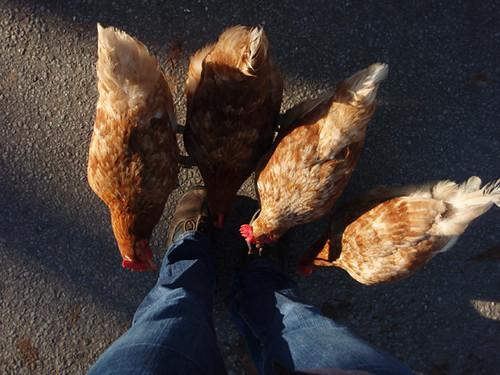 chickens i