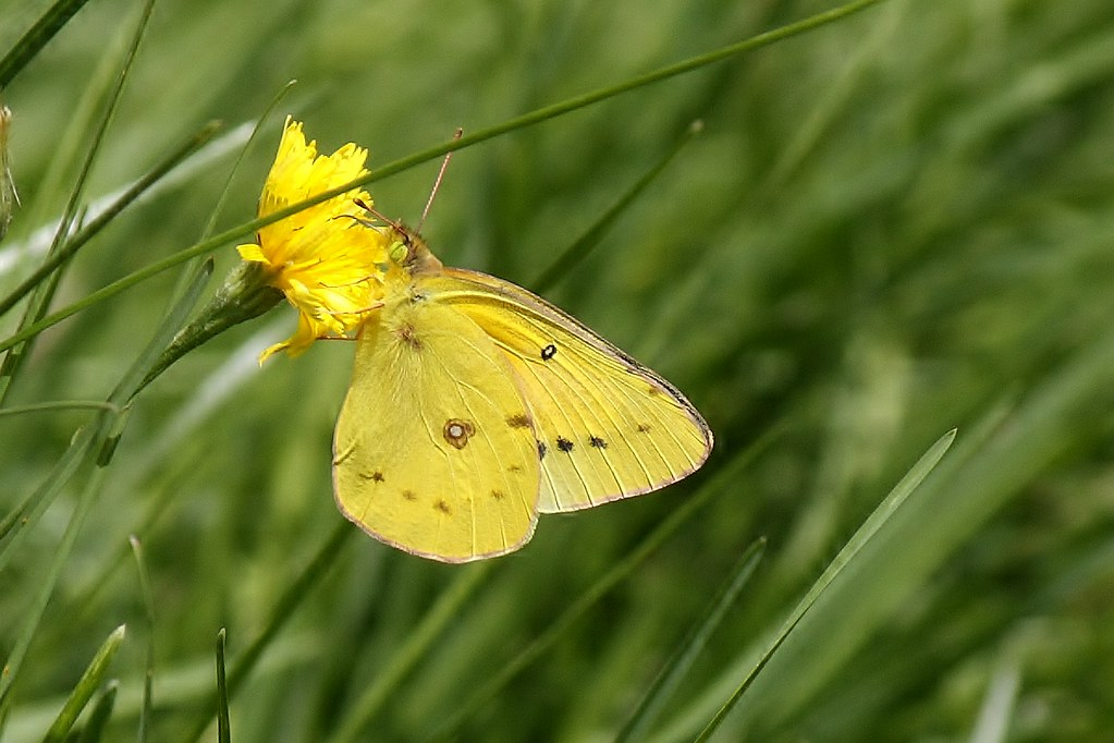 Clouded Sulphur Butterfly (14)