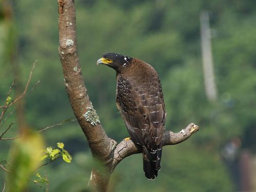 搜尋獵物中的大冠鷲