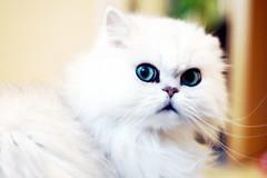 Ljus katt