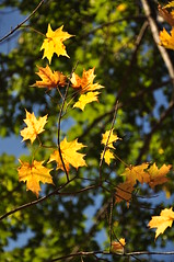 Maple Leaves 2