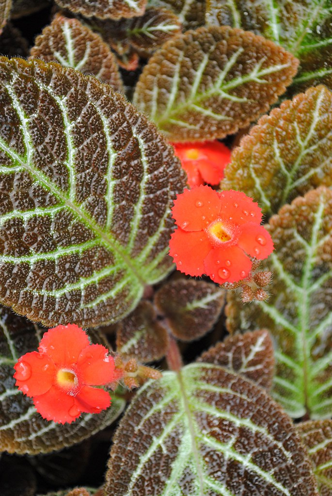 Copper and pale green leaves and vibrant wet red ruffle edged flowers... Episcia cupreata Check Mate